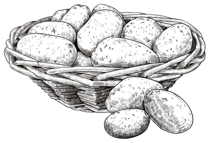 Zeichnung Kartoffel